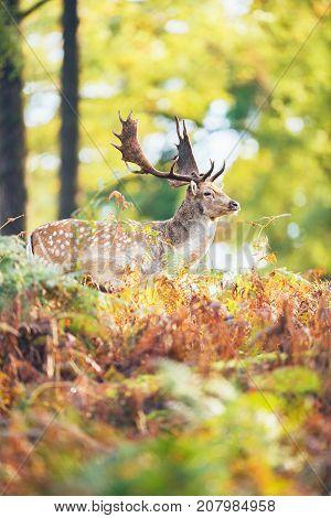 Side View Of Fallow Deer Buck (dama Dama) Between Ferns In Fall Forest.