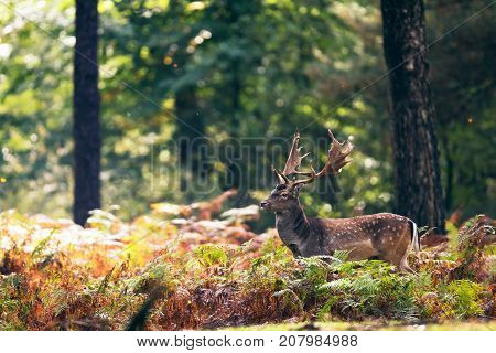 Fallow Deer Buck (dama Dama) In Ferns In Fall Forest.