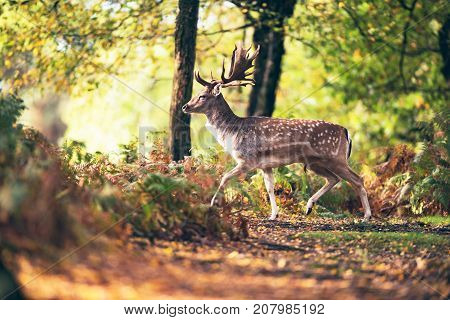 Fallow Deer Buck (dama Dama) Crossing Path In Autumn Forest.