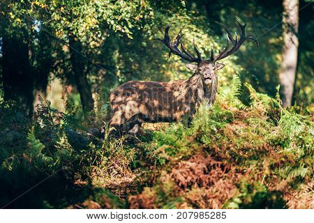 Bellowing Red Deer Stag (cervus Elaphus) In Ferns In Autumn Forest.