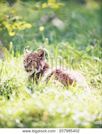 Eurasian Lynx (lynx Lynx) Lying In Grass Backlit By Sunlight.