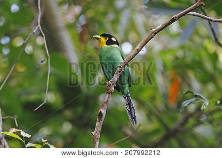 Long-tailed Broadbill Psarisomus Dalhousiae Beautiful Birds Of Thailand