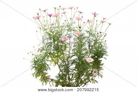 pink daisy  Flowers isolated on white background
