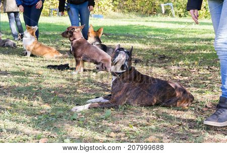 boxer dog laying down near his owner legs during the dog obedience course