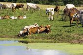 Texas Longhorn Beef Cattle at the waterhole. Very hardy cattle and great hamburgers or steaks! poster