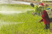 Farmers are spraying pesticide to protect plants by manual backpack sprayer. poster