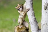 Cute young monkey stepping on its mothers head poster