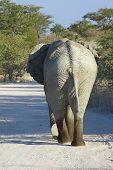 Elephant walking on gravel road in Etosha National Park, Namibia poster