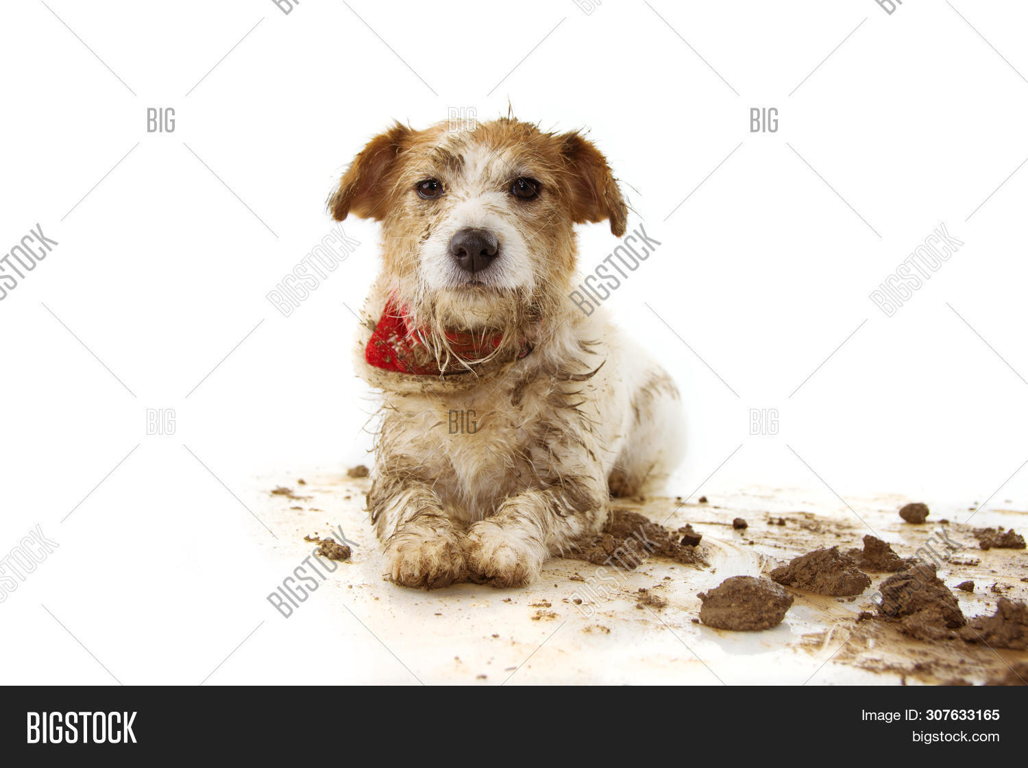 Dirty Dog Funny Jack Image Photo Free Trial Bigstock