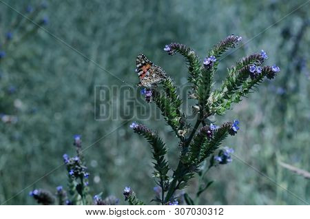 Butterflies And Insects Collect Sweet Nectar From Wild Wildflowers. Soft Focus