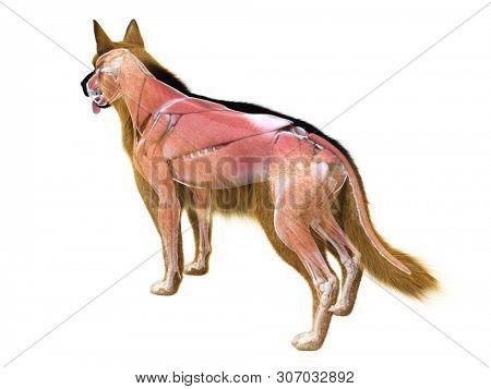 3d rendered medically accurate illustration of the muscle system of the dog