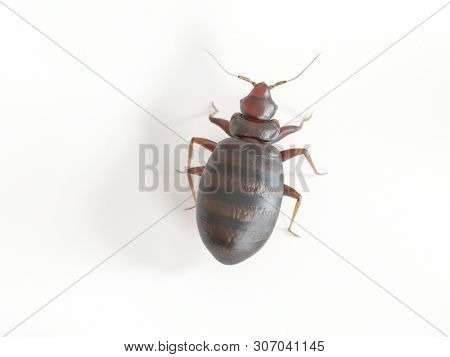 3d rendered medically accurate illustration of a bed bug on white background