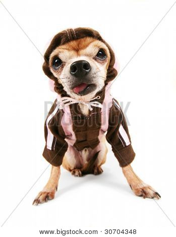 a chihuahua wearing a jacket poster