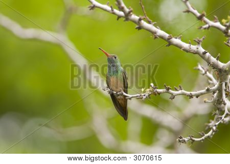 A Buff-bellied Hummingbird Perched high up in a tree poster