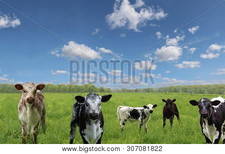 Group Of Speckled Mottled Multi-colored Roan Calves In The Filed With Blue Sky And Fluffy Clouds