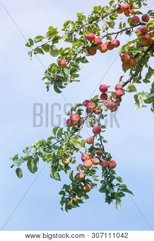 Wild Red Apples On A Branch On Blue Sky Background