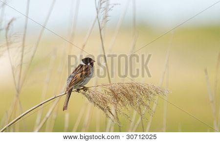 A Sedge Warbler