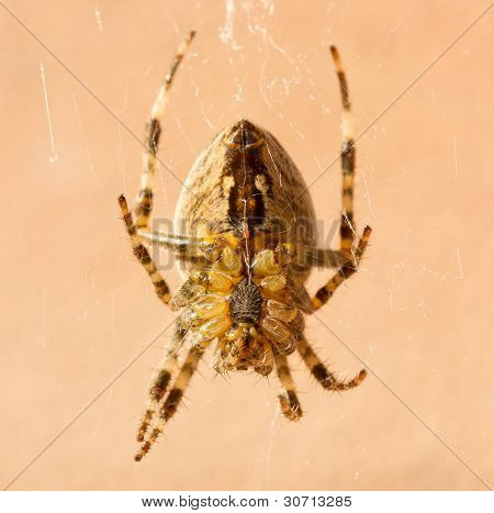 A Cross Spider