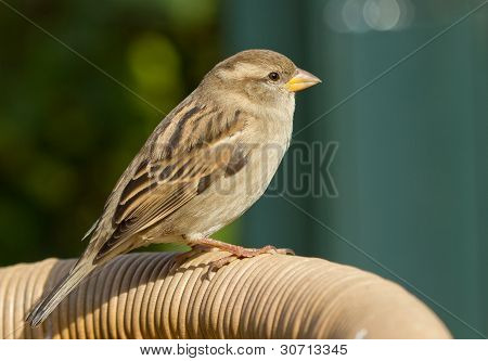 Sparrow On A Chair