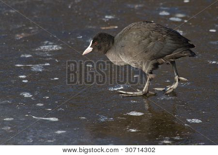 A Common Coot