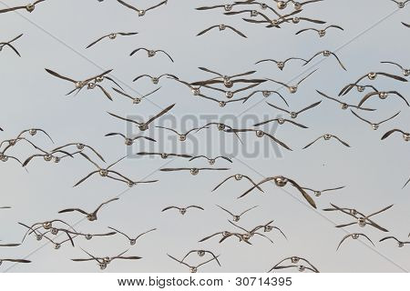 A Group Of Brent Geese