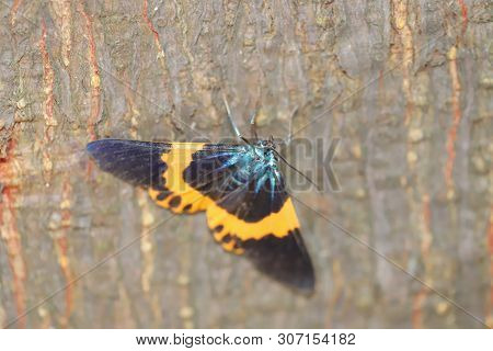 A Black And Yellow Lichen Moth At Nature