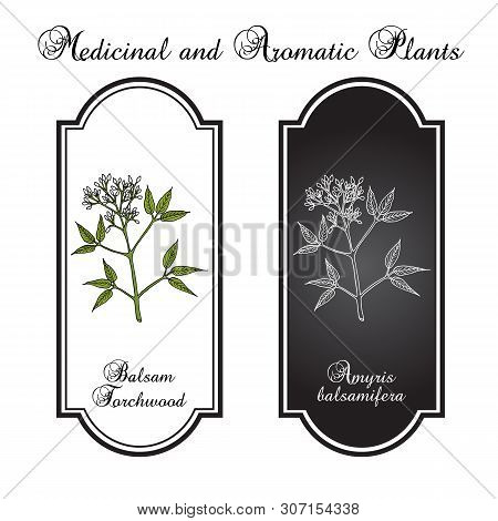Balsam Torchwood Amyris Balsamifera , Medicinal Plant. Hand Drawn Botanical Vector Illustration