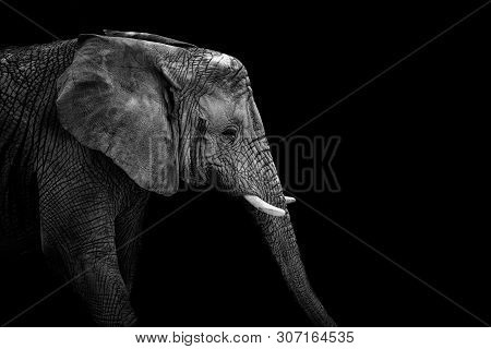 Mochrome Portrait Elephant. Face Elephant. Animal On Black. Black And White Poster. African Elephant