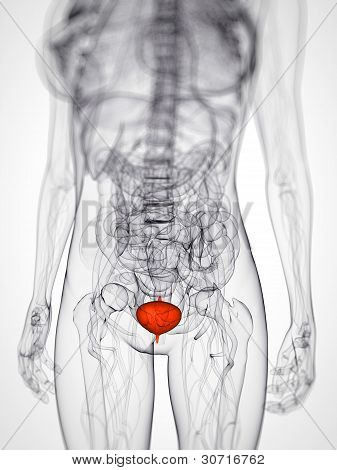 highlighted bladder
