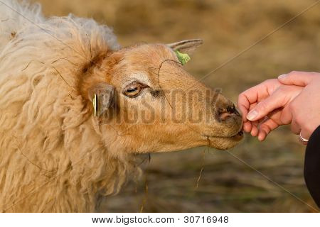 Brown Sheep Is Smelling A Hand