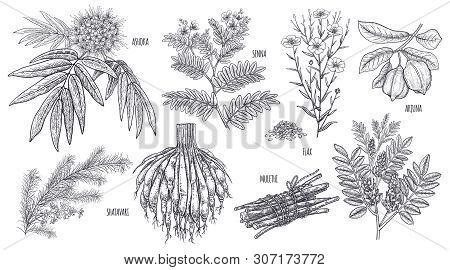 Medical Plants, Flowers And Herbs. Set. Isolated On White Background. Ashoka, Senna, Shatavari, Mule