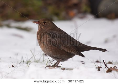 A Blackbird In The Snow