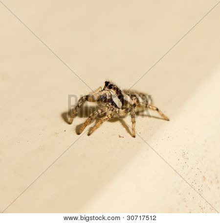 Salticus Scenicus Jumping Spider