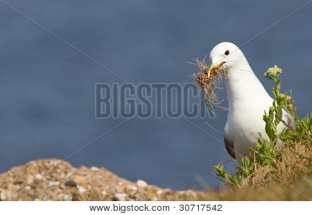 Seagull Building A Nest