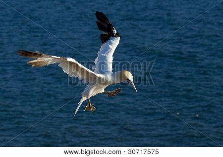 A Flying Gannet