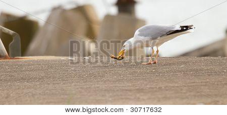 Una gaviota es comer cangrejo