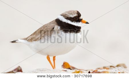 A Ringed Plover