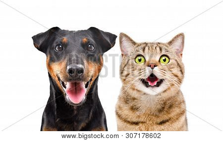 Portrait Of Funny Dog Breed Jagdterrier And Cheerful Cat Scottish Straight Isolated On White Backgro