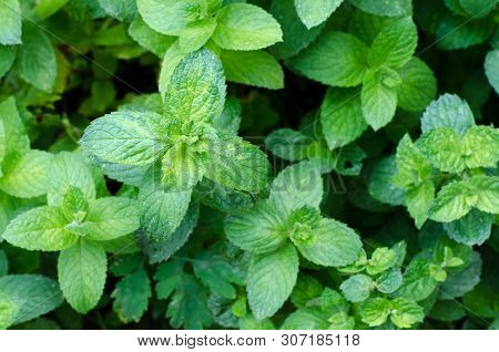Fresh Green Peppermint Grows In The Garden. Peppermint Leaves Under Dew Drops. Spring Botanical Back