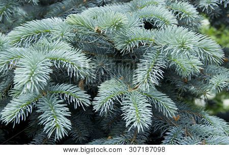 The Branches Of The Blue Spruce Close-up. Blue Spruce Or Prickly Spruce (picea Pungens) - Representa