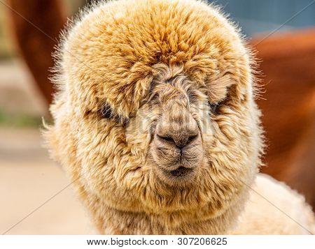 A Goofy Brown Puffy Alpaca Face At A Farm