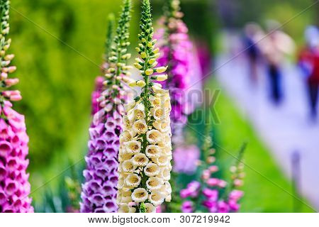 Close Up Of Digitalis Purpurea Flower Foxglove, Common Foxglove, Purple Foxglove Or Ladys Glove