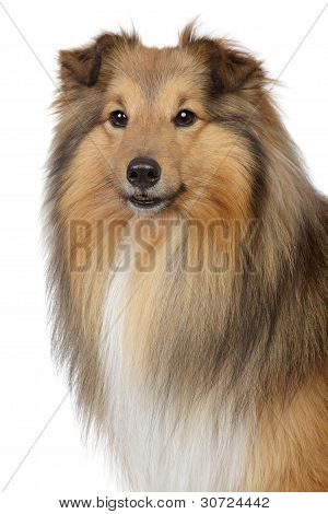 Shetland sheepdog sheltie. Close-up portrait on a white background poster