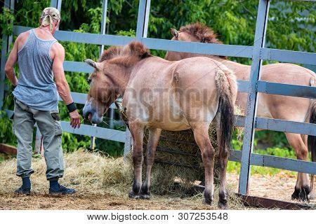 Przewalskis Horse Or Equus Ferus Przewalskii And A Keeper In Captivity