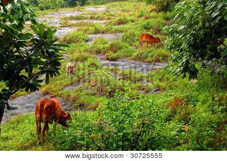 Cows on the rocky hill in Sri Lanka in the rain poster
