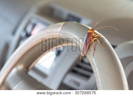 Cockroaches On The Steering Wheel Of The Car. Concept Of Eliminating Cockroaches That Are Pathogens