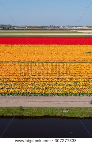 Orange And Red Tulip Fields In The Netherlands On A Sunny Day In Springtime