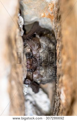Grey long-eared bat (Plecotus austriacus) roosting in cavity. This is a fairly large European bat. It has distinctive ears, long and with a distinctive fold. It hunts above woodland, often by day, and mostly for moths. poster