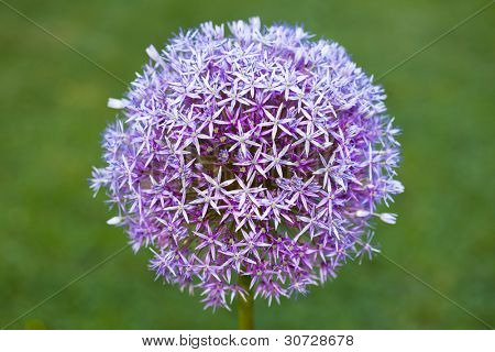 Purple alium onion flower on green background