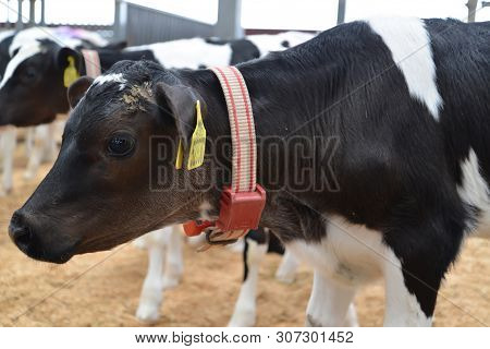 Kaliningrad Region, Russia - May 28, 2019: Portrait Of A Calf Of The  Holstein-friesian Breed. Dairy